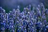 Lavanda (Antonio Carrillo (Ancalop)) Tags: flowers naturaleza flores macro nature canon lavender lavanda canon70200mm antoniocarrillo vsco canon5dmarkii ancalop vscofilm vscofilm4