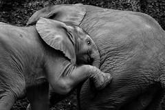 Jogi, the little rascal (Blende1.8) Tags: elephant rascal zoo fuji fujifilm elefant wuppertal fujinon babyelephant elefanten jogi strolch youngelephant zoowuppertal wuppertalerzoo racker elefantenbaby xt1 50230mm