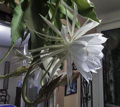 IMG_7190 (xsalto) Tags: garden jardin epiphyllum oxypetalum reinedelanuit