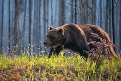 On the Move (dbushue) Tags: bear canada forest nikon britishcolumbia wildlife grizzly roadside canadianrockies 2014 kootenaynationalpark specanimal specanimalphotooftheday specanimaliconofthemonth dailynaturetnc14 photoofthedaynwf14