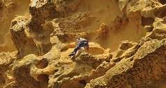 Peregrine Falcon High up on the Sandstone Jurassic Coast Cliff (standhisround) Tags: cliff bird fossil sandstone rocks worldheritagesite falcon westbay peregrinefalcon eastcliff jurassiccoast