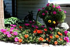 Still Blooming (Lynn English) Tags: colors mossroses natureandpeopleinnature