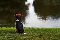 (C. Leigh Photography) Tags: dog beagle dogs nature water grass animals wisconsin backyard nikon wisco nikonusa d7000 nikond7000