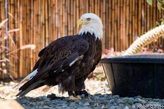 Bald Eagle (orgazmo) Tags: birds animals wildlife sony baldeagle eagles a58 animalportraits sonyalpha sony18250mmf3563dt slta58 dslta58