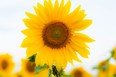 Sunflower  [explore 09-17-14] (misterperturbed) Tags: sunflowers harfordcounty jarrettsvillepike hessroad