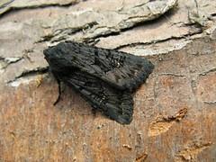 Black rustic (nfy) (little-acorns) Tags: garden insect britishisles northwest moth isleofman manx ramsey invertebrate gms lepidoptery aporophylanigra blackrustic flickrandroidapp:filter=none gardenmothscheme