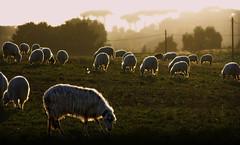 a Roman sunset... (sermatimati) Tags: sunset rome roma nikon tramonto colore ombra natura calore luce magia pecore pascolo fascino gregge sermatimati vicinolufficio
