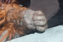 Hand (PhotosWithLouis) Tags: orangutang hand knuckle similar ginger