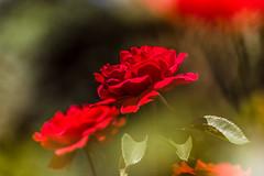 Rose (Sascha Wolf) Tags: nikon tamron rose blte rot bokeh blhendes barock natur outdoor flower