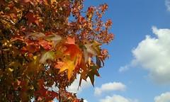 Autumn is back :-) (Londrina92) Tags: autumn autunno foliage acero colori fall outdoor nature plant foglie leaves sunny sky