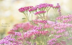 Achillea (Jane Dibnah Botanical Art) Tags: achillea mixed asteraceae flowers floralart flora powiscastle nationaltrustgarden