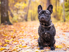 Bobban (marcusholmqvist) Tags: french bulldog dog hst autumn fall portrait portrtt