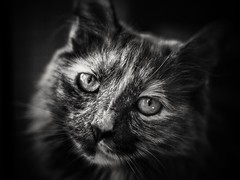 Isabella (suzeesusie) Tags: cats cat gato pet pets animal animals katze chat hdr monotone blancoynegro blancetnoir bw bnw schwarzweiss face portrait