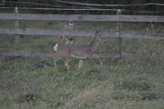 _MG_1878 (thinktank8326) Tags: deer whitetaileddeer fawn doe babyanimal babydeer
