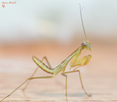 Sphodromantis lineola (African Lined Mantis) (2nd instar) (Andrew Mitchell_Unseen Universe) Tags: sphodromantislineola sphodromantis africanmantis africanprayingmantis africanlinedmantis giantafricanprayingmantis giantafricanmantis greenprayingmantis greenmantis greenandbrownprayingmantis brownprayingmantis brownmantis brownandorangeprayingmantis brownandgreenmantis prayingmantis mantid mantis mantodea invertebrate insects instar insectmacrophotography insectphotography insect andrewmitchell unseenuniverse macrophotography mitch macro mitchell