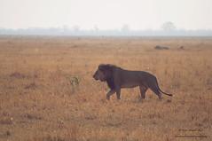 (Sebtaui2010) Tags: botswana botsuana lion leon savuti sabana africa animal wild