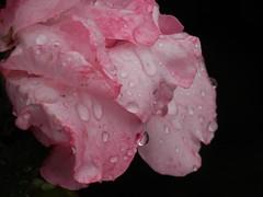 No son mis lgrimas. Slo es lluvia. (elena m.d.) Tags: lluvia rosa otoo