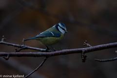 _IAA2431 Blmeis (steinar.kjelland) Tags: blmeis fugl