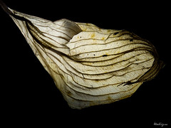 Dried Hosta Leaf - Feuille d'hosta sche (monteregina) Tags: dried dry foliage leaf texture translucent photo:id=nb201611187115 quebec canada feuilles leaves hosta sche fane jaune yellow onblack automne fall autumn nature natur patterns structure abstrait abstract naturalabstraction textures formes shapes plante plant plantae asparagaceae wrinkled curledleaf feuilleenroule funkienblte laub recroqueville veins