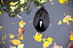 © Inge Hoogendoorn (ingehoogendoorn) Tags: coot coots meerkoet meerkoetje lookingdown birdseye birdeyeperspective birdseyeperspective birdview water autumnleaves leaves autumn autumnleaf bird vogel vogels birds