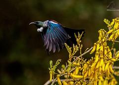 Tui 42 (Black Stallion Photography) Tags: tui parson bird wildlife newzealand nzbirds flight open wings feathers kowhai flowers blue green iridescent black stallion photography igallopfree