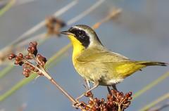 Common Yellowthroat - Legacy Park, Malibu (weezerbee9) Tags:
