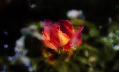Autumn rose. (augustynbatko) Tags: flower autumn nature plant macro rose