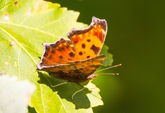 7K8A4757 (rpealit) Tags: scenery wildlife nature hyper humus newton eastern comma butterfly