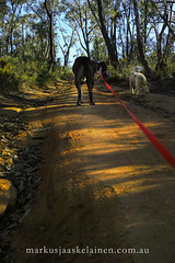 Walking Dogs in the Australian Bush (Markus Jaaske) Tags: dog walking bush australia nature pet canine loyal companion friend animal happy play playful cute outside mammal walkingthedog outdoors australian forest park natural woods trees together eucalyptus landscape freedom friendship activity