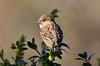 DSC_8183 (sylvettet) Tags: sparrow moineau bird 2016 nikon specanimal