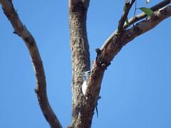 Myiagra rubecula 5 (barryaceae) Tags: corrigan road fire trail ton of fun darawank nsw australia bird birds aves australianbirds ausbirds ausbird leaden flycatcher myiagra rubecula