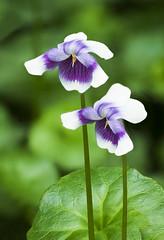Viola hederacea (Roniyo888) Tags: viola hederacea australia small violet white flower green leaf