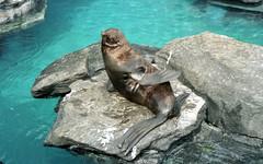 lb-019-2002-003 (Paul-W) Tags: connecticut mysticaquarium 2002 vacation mystic seals sealions