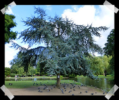 Tree with Pigeons (kcm76) Tags: 2016 lumix tz35 tree pinner harrow