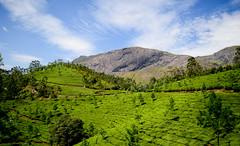 Munnar Tea Estate (Abhijit Tembhekar) Tags: kerala munnar thekkady