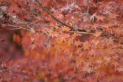 Falling asleep.  Buds are red too. (shizen.shigen) Tags:  japanesemaple acerpalmatum