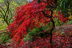 Autumn Flame (Cole Chase Photography) Tags: autumn fall japanesemaple portland oregon pittockmansion rain canon eos5dmarkiii pacificnorthwest