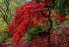Autumn Flame (Cole Chase Photography) Tags: autumn fall japanesemaple portland oregon pittockmansion rain canon eos5dmarkiii pacificnorthwest