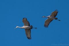Sandhill Cranes (kgilbertsen) Tags: bird sandhillcranes sandhillcranejasperpulaskiindiana