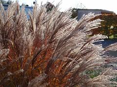 "Miscanthus ""Ferner Oster"" (Kniphofia) Tags: rhs harlowcarr miscanthus ferneroster autumn backlit"