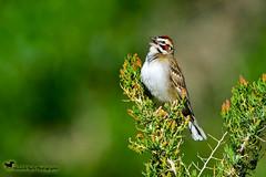 SING OUT THE JOY, JOY ... (Aspenbreeze) Tags: larksparrow sparrow bird wildbird birdsinging chirping birdsong joy nature wildlife wildbirds rural country family bevzuerlein aspenbreeze moonandbackphotography