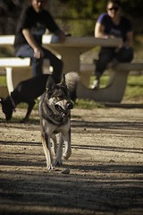 DSC_0040 (Harlum) Tags: boxer germanshepherd lab dogpark wolfhybrid husky malamute nikon nikond100 nikond5100 dogs