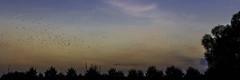 night flight (mamuangsuk) Tags: nightflight nightsquad essaimdoiseaux birdsswarm swarming sunset dusk birdsflying sunsetcolours mamuangsuk