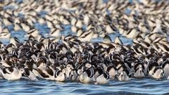 Herd Mentality (gseloff) Tags: americanavocet bird feeding flock wildlife bolivarflatsshorebirdsanctuary houstonaudubonsociety galvestoncounty texas gseloff