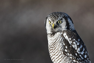 Northern Hawk Owl / Chouette épervière / Surnia ulula