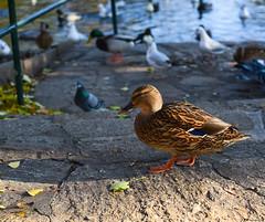 Catwalk... (vreny_) Tags: catwalk ente tier animal animaux teich nature natureshot austria outdoor duck walk sterreich