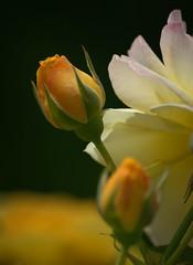 A Yellow Rose Bud (swong95765) Tags: flower bud rose yellow bokeh plant beauty