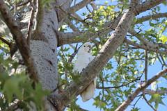 Tieri 2015 (110) (imbi anne) Tags: cockatoo birds