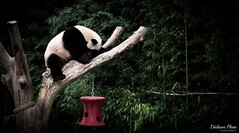 A tired panda (gunman47) Tags: asia everland indoor korea korean rok republic seoul south suwon yongin animal bear black exhibit giant panda park photography resting sleeping theme tired white zoo yonginsi gyeonggido southkorea