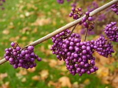 Perles automnales   Autumnal pearls (alainpere407) Tags: alainpere callicarpabodinieri paris parisinsolite parcdemontsouris automne autumn fall vividstriking